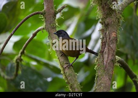 Grand-footed Finch, Pezopetes capitalis, au parc national La Amistad, Chiriqui province, République du Panama.