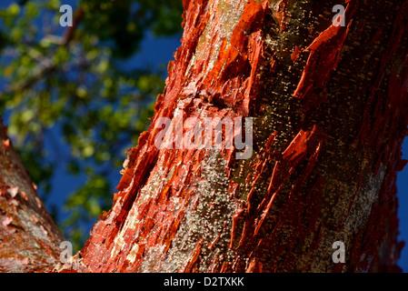À partir d'une écorce rouge Peeling Gumbo Limbo (Bursera simaruba) arbre. Le Parc National des Everglades, en Floride, Banque D'Images