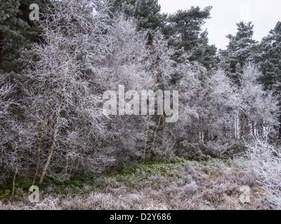 Arbres couverts de givre sur la commune de West End à Surrey sur une journée l'hiver