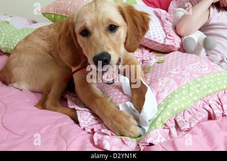 Chiot Golden Retriever de détruire le papier, le travail à domicile sur lit pour enfants Banque D'Images