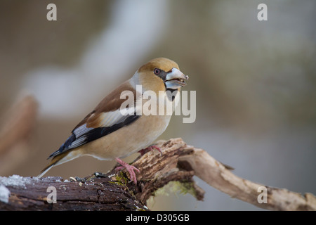 Coccothraustes coccothraustes Hawfinch Kernbeißer Banque D'Images