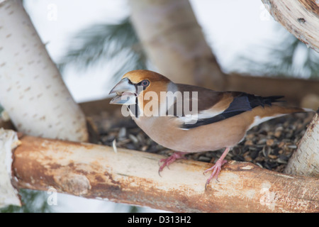 Coccothraustes Hawfinch Kernbeißer Banque D'Images