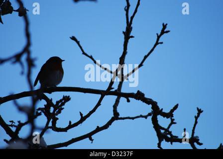 Un merle oiseau sur une branche couverte de neige, une silhouette ombre contre un fond de ciel bleu sur un arbre Banque D'Images
