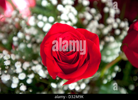 Red Rose, genre Rosa Banque D'Images