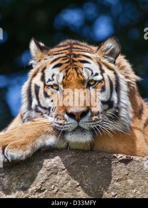 Amur Tiger/tigre de Sibérie (Panthera tigris altaica) Banque D'Images