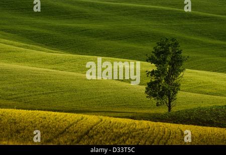Un lonely tree dans les champs verts de la Toscane Banque D'Images