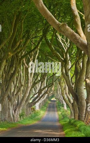 Route bordée de hêtre ou de haies sombres un emplacement utilisé dans le jeu de Thrones Stanocum Ballymoney County Banque D'Images