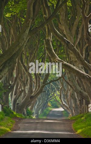 Route bordée de hêtres connu sous le nom de Dark Hedges près de Stanocum le comté d'Antrim en Irlande du Nord UK Banque D'Images