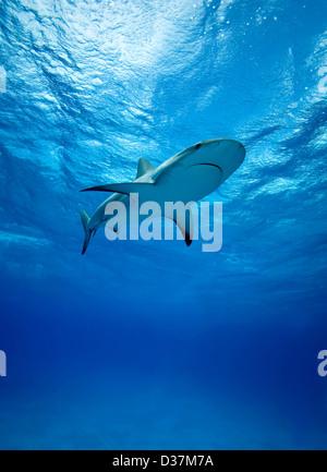Requins de récif nager sous l'eau Banque D'Images