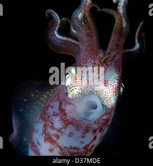 Close up of squid la nuit sous-marine Banque D'Images