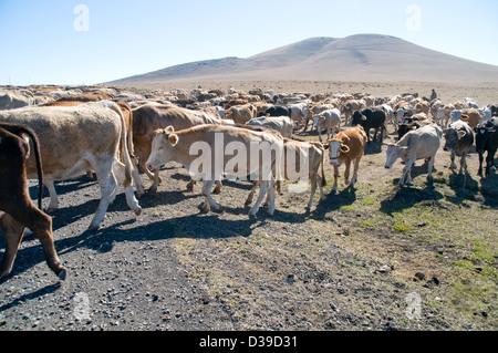 Les éleveurs de bétail d'entraînement kurde dans la steppe terres de l'est de la Turquie, à l'extérieur de la ville Banque D'Images