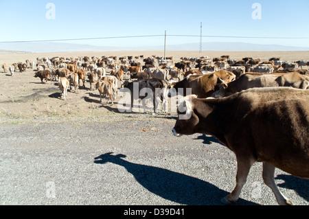 Un troupeau de bovins de traverser la route en milieu rural zone kurde à la périphérie de la ville de Kars en steppes Banque D'Images
