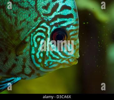 De superbes poissons Discus (Symphysodon aequifasciatu portrait)