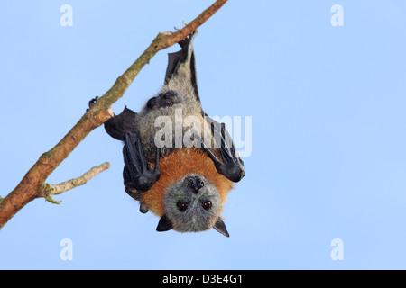 Un mâle Tête gris Flying Fox, Pteropus poliocephalus, suspendu à une branche. Bellingen Island, NSW, Australie. Banque D'Images