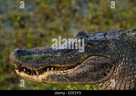 Alligator Alligator mississippiensis) (dans un marais près de Myrtle Grove en Louisiane Banque D'Images