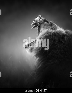 Lion portrait - Parc National Kruger - Afrique du Sud (traitement artistique) Banque D'Images
