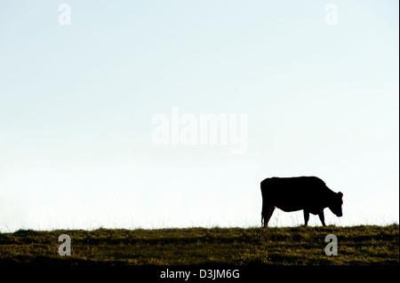 Seule vache découpé sur un fond de ciel bleu Banque D'Images