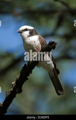 Blanche du nord migratrice, Eurocephalus rueppelli, Ol Pejeta Wildlife Conservancy, Laikipia, Kenya