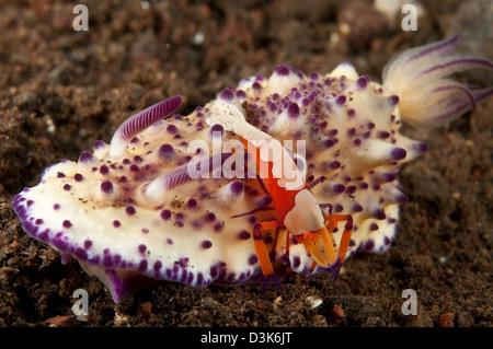 Multitubeculata Mexichromis limace de mer avec crevettes nudibranches empereur orange, Bali, Indonésie.