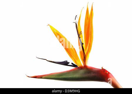 Bird of Paradise flower (strelitzia) isolé sur fond blanc Banque D'Images