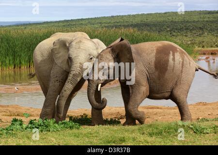 Les jeunes éléphants jouant à un étang dans le parc national des éléphants d'Addo. Banque D'Images