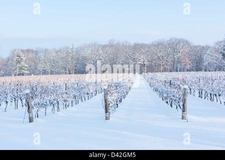 Canada, Ontario, Niagara-on-the-Lake, de raisin vigne en hiver Banque D'Images