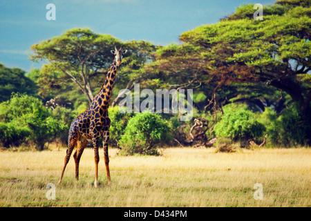 Girafe unique sur la savane. Safari à Amboseli, Kenya, Africa Banque D'Images