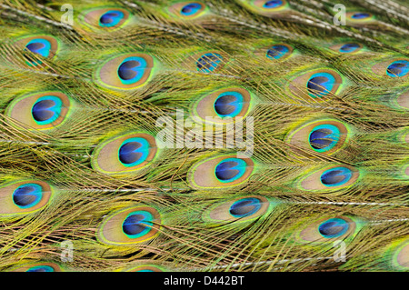Paons indiens (Pavie cristatus) close-up de plumes dans l'élevage en captivité, queue du mâle, en Angleterre, en juillet