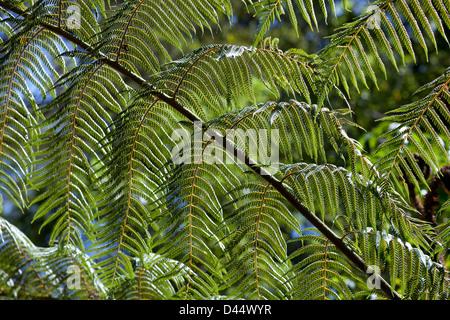 Fougères dans les bois de la Nouvelle-Zélande au printemps Banque D'Images