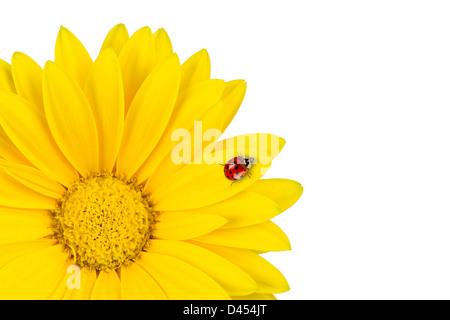 Coccinelle sur fleur gerbera jaune Banque D'Images