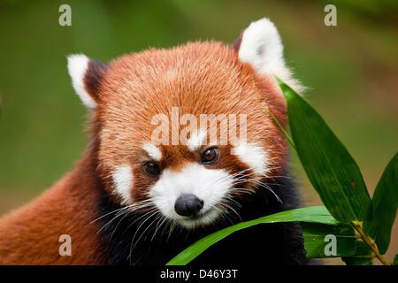 Le Petit Panda, Ailurus fulgens, ou «lumineux cat', est un petit mammifère arboricole et la seule espèce du genre Banque D'Images