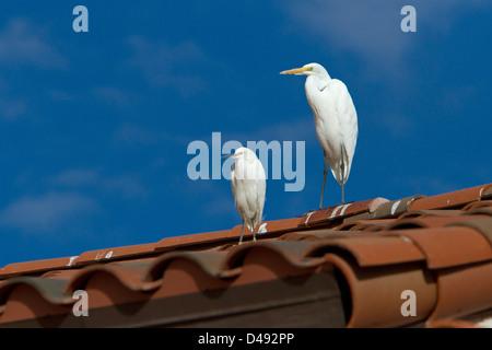 Grande Aigrette (Ardea alba) & Aigrette neigeuse (Egretta thula) perché sur un toit à Rancho Mirage, Californie, Banque D'Images
