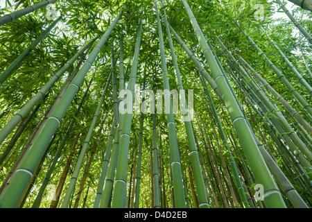 Fond vert nature, zen bamboo forest Banque D'Images