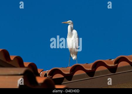 Grande Aigrette (Ardea alba) perché sur un toit à Rancho Mirage, Californie, USA en Janvier Banque D'Images