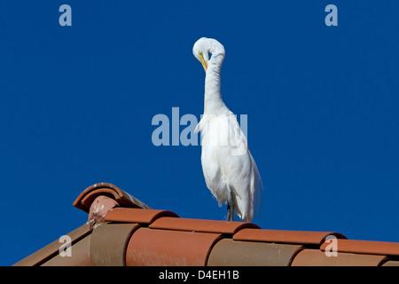 Grande Aigrette (Ardea alba) perché sur un toit au lissage à Rancho Mirage, Californie, USA en Janvier Banque D'Images