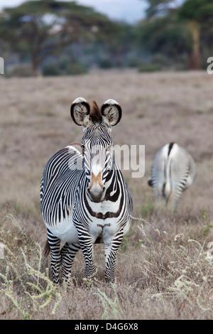 Le Zèbre de Grévy (Equus grevyi), Lewa conservancy, Laikipia, Kenya, septembre 2012 Banque D'Images
