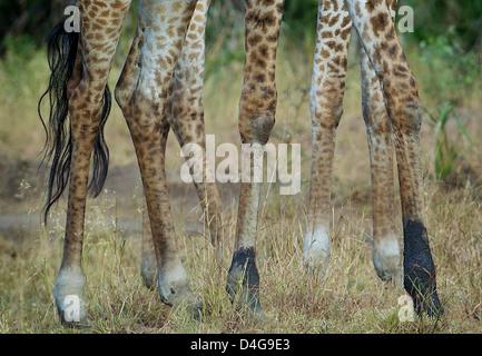 Les jambes des girafes Giraffa camelopardalis Saadani National Park Afrique du Sud