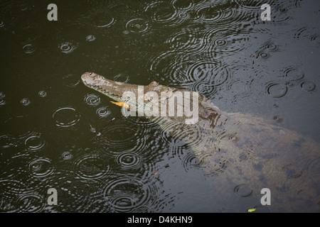 Crocodile, Crocodylus acutus, sci.name; dans une rivière près de Tonosi, Los Santos province, République du Panama.