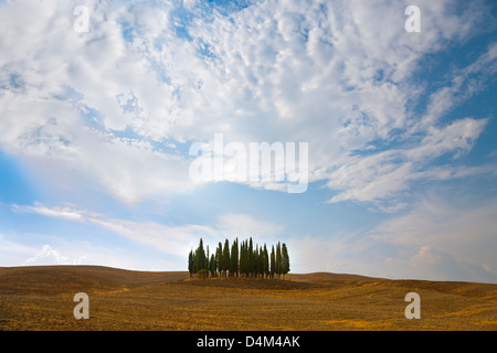 Cyprès toscans dans paysage poussiéreux Banque D'Images