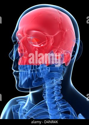 Crâne humain Banque D'Images