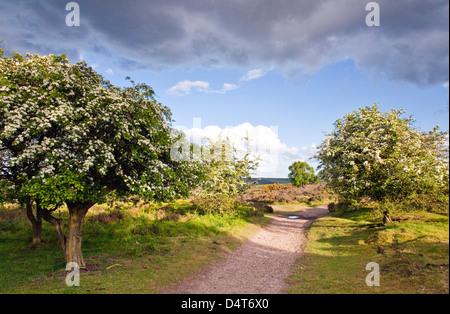 Le coeur de l'Angleterre Way sentier peut s'épanouir sur les arbres d'aubépine Cannock Chase Country Park AONB (région Banque D'Images