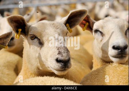 Les moutons à la plume en attente d'être vendus à Thame moutons fair 2012 Banque D'Images