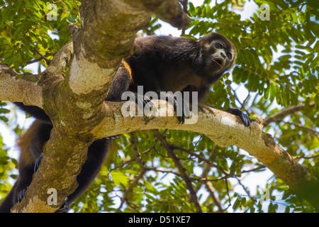 Manteau d'un singe hurleur (Alouatta palliata), ce qui en fait l'appel distinctif d'un arbre; dans la province Banque D'Images