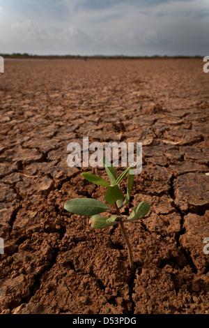 Une nouvelle croissance dans le parc national de Sarigua (désert), Herrera province, République du Panama.
