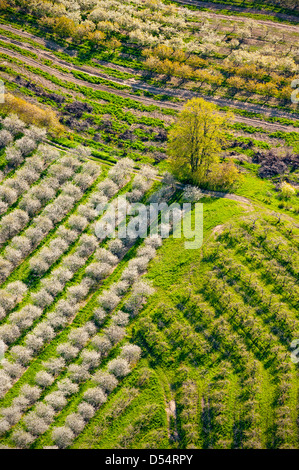 Vue aérienne de la cerisaie en fleurs de printemps dans le Comté de Mason, Michigan, USA.