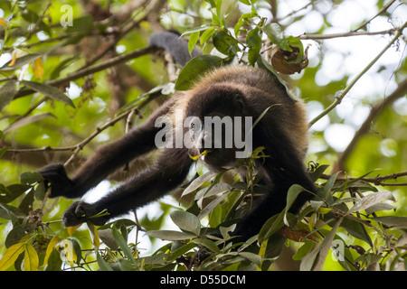 Un manteau d'or singe hurleur (Alouatta palliata palliata) au Llanos de Cortez cascade dans la province de Guanacaste, Banque D'Images