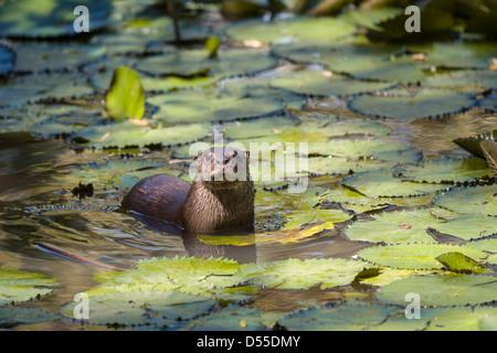 Neotropical loutre de rivière (Lontra longicaudis) à Las Pumas à Cañas, Province de Guanacaste, Costa Rica.