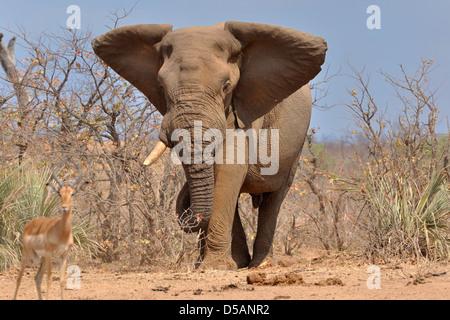 Bush africain bull elephant (Loxodonta africana) à pied, l'Impala (Aepyceros melampus) dans l'avant-plan, Kruger National Park, Afrique du Sud, l'Afrique