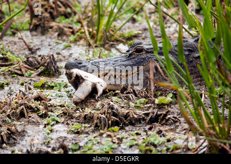 Alligator Tortue alimentation Green Cay - Zones humides - Boynton Beach, Floride USA Banque D'Images
