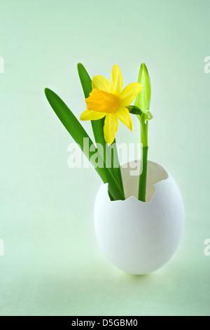 Tete a tete narcisse pâques croissant dans une coquille d'œuf, blanc sur fond vert Banque D'Images